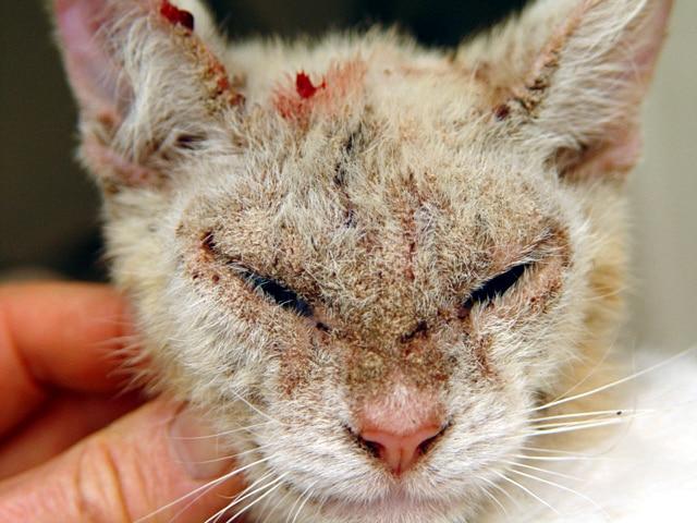 Кошачья чесотка у человека фото лечение